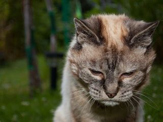 797px-Tired_20-year-old_cat